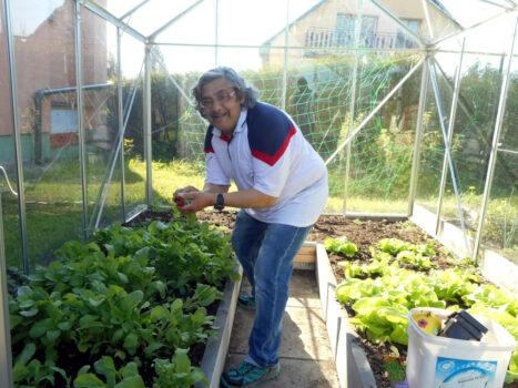 Sklizeň ředkviček ve skleníku